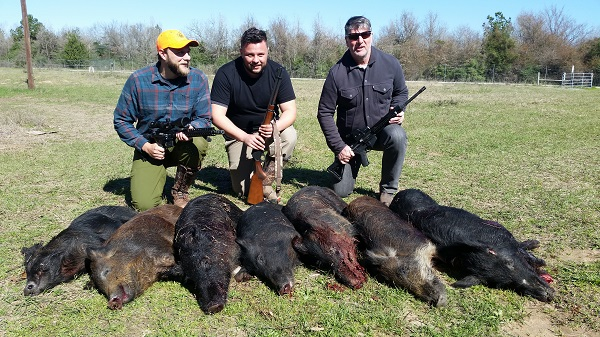 Wild hogs in Texas